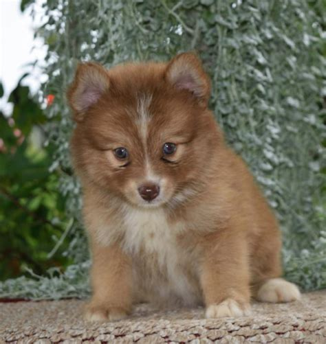 pomsky puppies for sale in missouri puppies for sale missouri