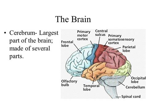 the largest section of the brain is the nervous system ppt video online download