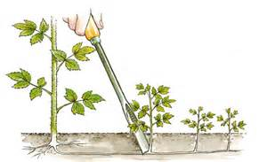 le geste du mois tailler un framboisier mon jardin