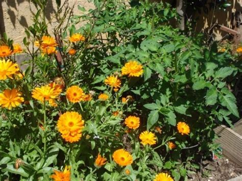 marigolds for pest thriftyfun
