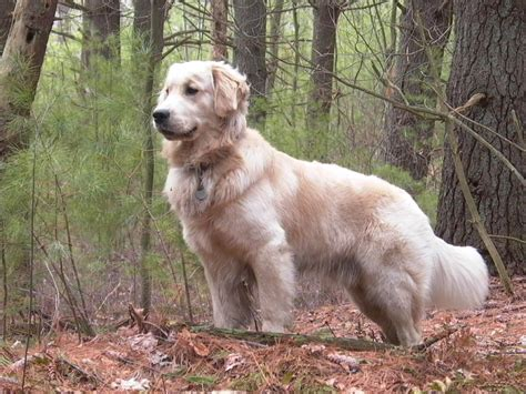 golden retrieved golden retriever blogs monitor