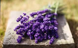 lavender flower new desktop hd wallpapers hd wallapers for free
