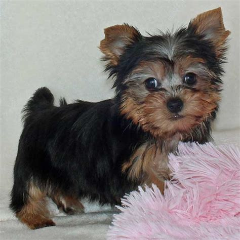 yorkie for sale florida yorkie terrier puppy for sale in boca raton south florida