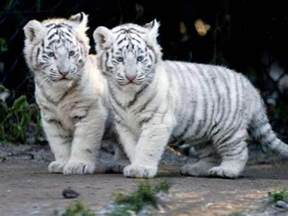 baby white tiger wallpapers wallpaper cave