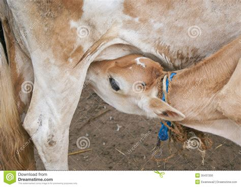 hairstyles for women with a calf lick calf licking milk cow stock photo image 35437200