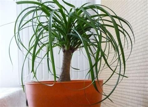 pianta per interni piante per interni piante appartamento caratteristiche