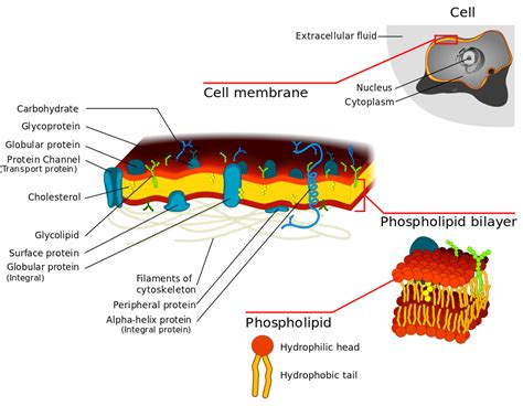 diagram of a cell membrane file cell membrane detailed diagram 3 svg wikimedia commons