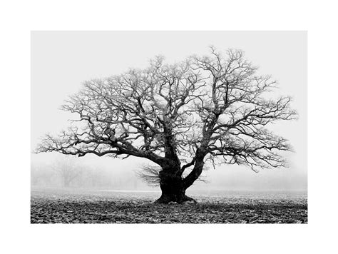 free printable tree wall art old oak tree black white mist fog photo framed art print