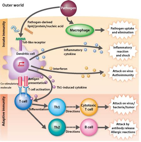innate immunity a question of balance ora immune system function medical terminology