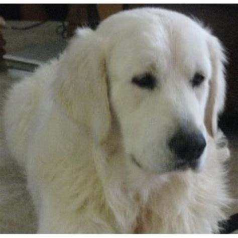 rescue puppies ma golden retriever breeders in maryland freedoglistings breeds picture