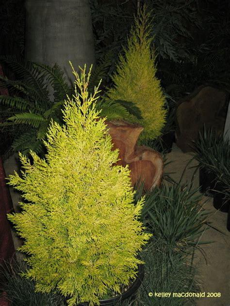 plantfiles pictures monterey cypress lemon cypress