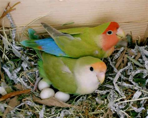 items similar to two colorful pet birds lovebirds nest