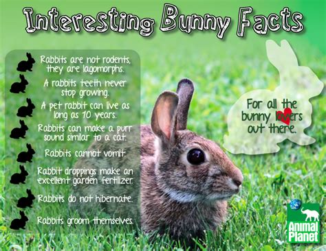 7 Facts On Bunny Rabbits by Interesting Bunny Facts Amanda An Designs