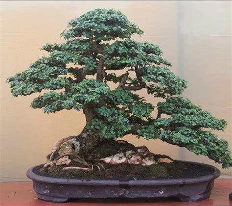Serut Serut fakta menarik bonsai serut yang banyak diminati di indonesia flora dan fauna