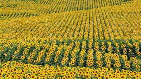 girasole fiore significato significato girasole significato fiori significato
