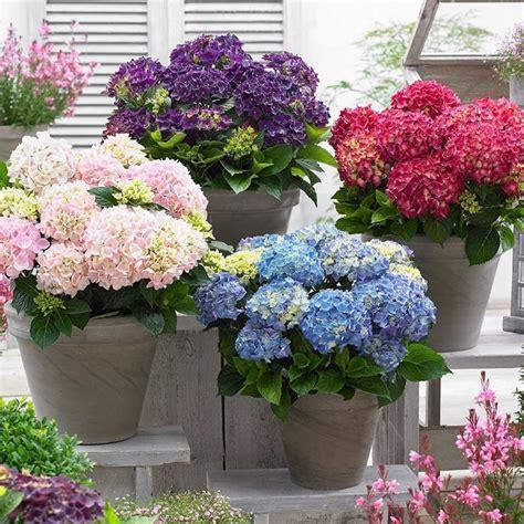 coltivazione in vaso ortensia in vaso ortensia ortensia coltivazione in vaso