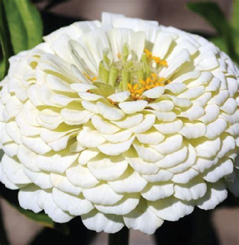 Biji Benih Buah Kurma Yellow Golden benih zinnia dahlia white jual tanaman hias