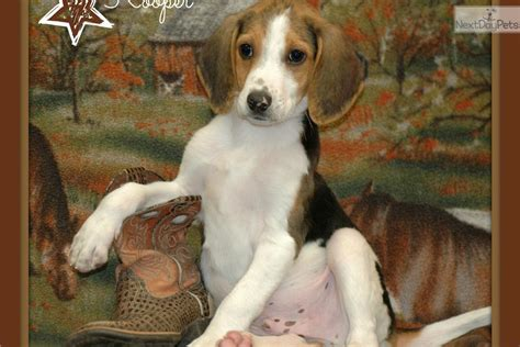 american foxhound puppies treeing walker coonhounds dogs beau and luke breeds picture