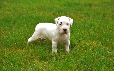 dogo argentino puppies argentine dogo puppies breed information puppies for sale