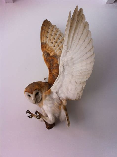vulture taxidermy ebay taxidermy barn owl bird of prey owl bird taxidermy and barn