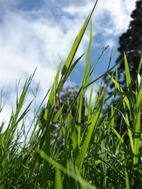 south african couch grass african couch grass digitaria abyssinica feedipedia