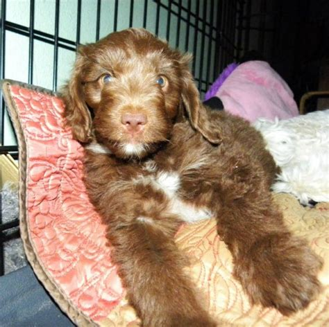 miniature aussiedoodle puppies for sale mini f1 aussiedoodle puppies for sale aussiedoodle and labradoodle puppies best