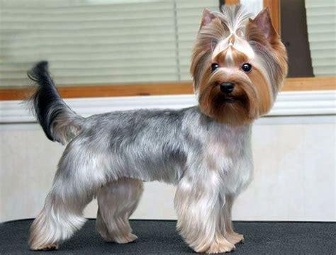 yorkie long hair bang cut yorkie hair cuts on pinterest yorkie yorkshire terrier
