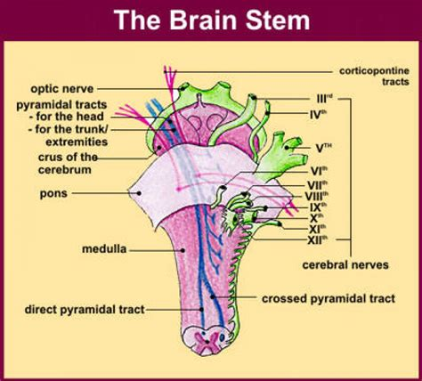 sections of the brain stem brain stem pictures