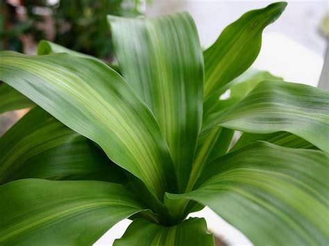 imagenes de plantas verdes de interior tronco de brasil una popular planta de interior