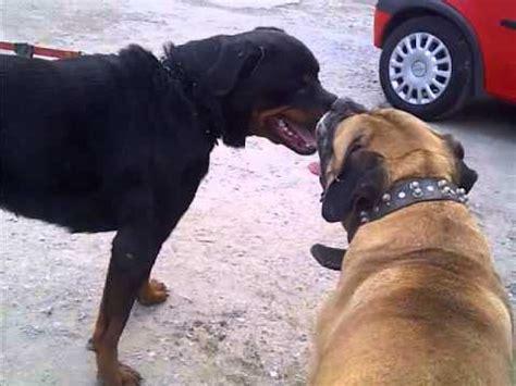 rottweiler vs bullmastiff bull mastiff and rottweiler