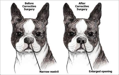 brachycephalic dogs brachycephalic in dogs and cats
