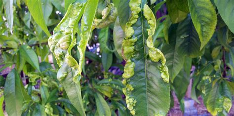 fruit tree leaf curl treatment leaf curl bulleen garden