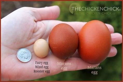 what color eggs do chickens lay how a hen makes an egg egg oddities hens roosters
