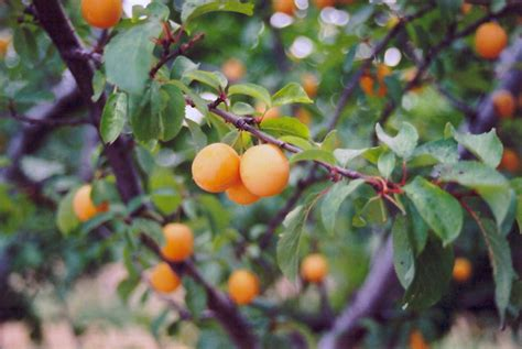 fruit tree nursery michigan goldcot apricot prunus armeniaca goldcot in detroit