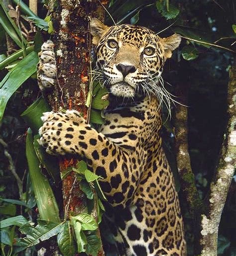 imagenes de la jaguar 191 qu 233 tienen en com 250 n el estr 233 s y un jaguar sobre un 225 rbol