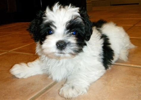 free havanese puppies for sale kc reg havanese puppies for sale for sale in peterborough kc reg havanese puppies for