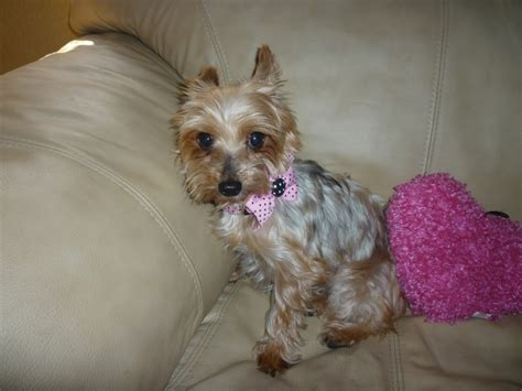 wren yorkie rescue yorkie rescue new hshire