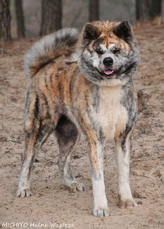 akita colors 1000 images about colors brindle on