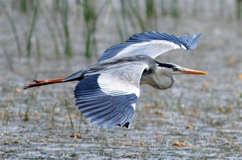 Heron Symbolism; A Message   Spirit Animal Totems
