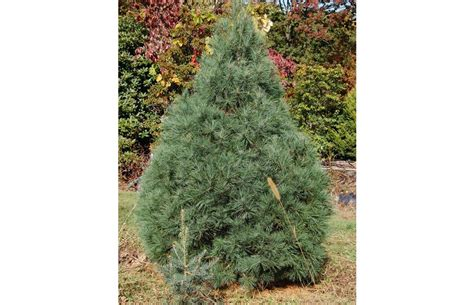 28 best christmas tree needle retention how to buy the