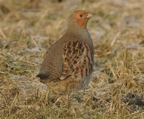 gray partridge grey partridge birds of alberta
