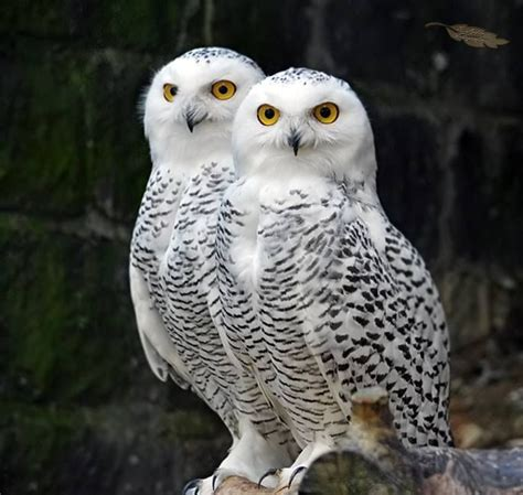 male snowy owls feed their mate while she keeps the eggs