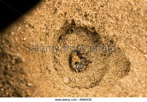 doodlebug insect facts ant lions stock photos ant lions stock images alamy