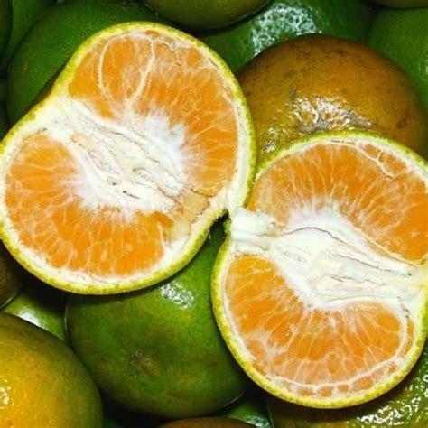 Bibit Tanaman Jeruk Purut Dengan Pot bibit jeruk siam manis 70 cm jualbenihmurah
