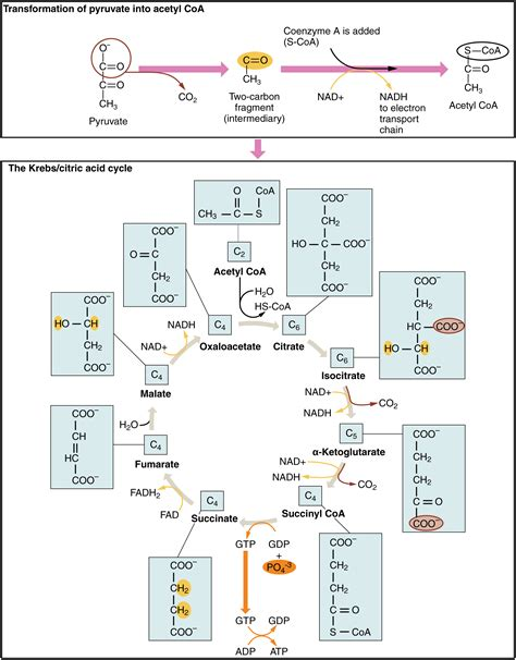 24 2 carbohydrates answers 24 2 carbohydrate metabolism anatomy and physiology