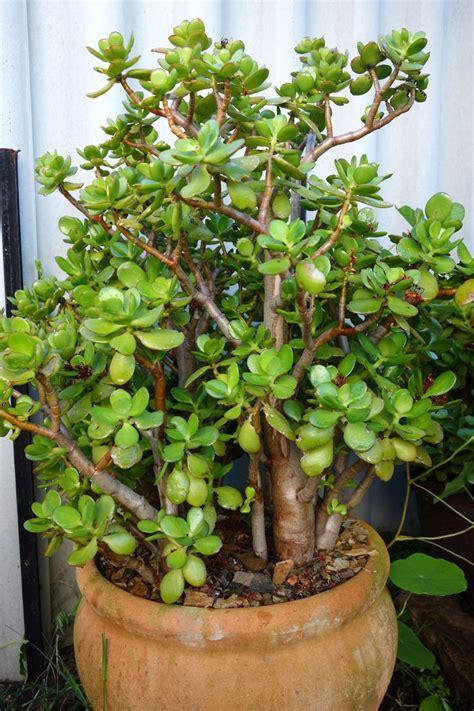 crassula ovata   large terracotta pot jade plants