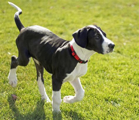 black and white great dane puppies black and white great dane puppies www pixshark images galleries with a bite