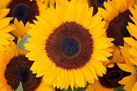 significato dei colori dei fiori il significato dei fiori d it repubblica