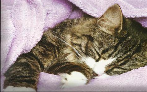 cat nap wallpaper hd cat nap wallpaper download free 106032