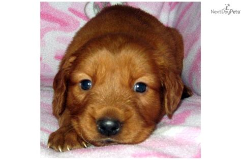 golden retriever puppies tucson golden retriever puppy for sale near tucson arizona 4899d464 7b61